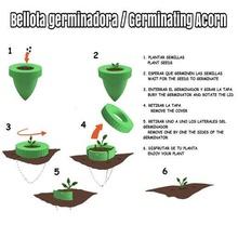 bellota germinating acorn germinating acorn gardening garden plants