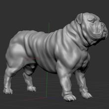 ingilizce bulldog hayvan köpek bulldog