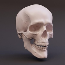 articulated skull education anatomy drawing figure head human joint skeleton skull desktop biology articulated reference moveable sculpting fynn supported chitubox gro e-bley