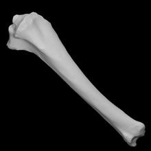 equus sp tíbia esquerda Varredura anatomia animal osso selvagem cavalo tíbia doméstico equus