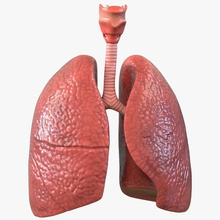 lung anatomy 3d 3d molier 3ds anatomical anatomy biology body cuted education human inside internal international lung medical model organs realistic respiratory science trachea vray