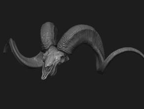 marco polo sheep skull & horns anatomy animal antlers body character ericsstudio horn human marc marco model polo sheep skull