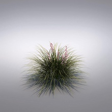 miscanthus festuca fiore erba miscanthus modello ornamentali la pianta arbusti piccola vizmode