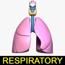 respiratory system lung adam alveoli anatomy apple atlas body breathe bronchus cartilage character cord human internal larynx leo3dmodels lung model organs people respiratory systemlung thyroid trachea vocal