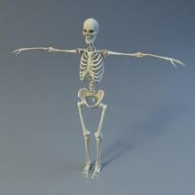 Skelett Anatomie Körper Knochen Charakter Fuß hand Mensch Männlich die medizinische Modell gerippt scienarts Wissenschaft Skelett Schädel Wirbelsäule