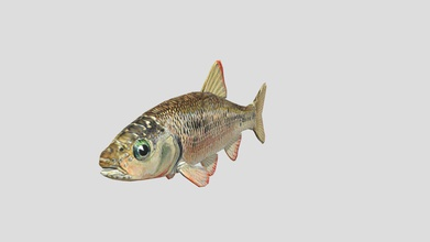 common shiner fish - download free 3d model mre sauce mre sauce 924ea2b made part research project model uv textured single texture repurposed texture entire fish based off one angle - common shiner fish - download free 3d model mre sauce mre sauce 924ea2b