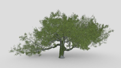 live oak ivy-new style - buy royalty free 3d model asma greenkish2020 a0f7972 quercus virginiana also known southern live oak evergreen oak tree endemic southeastern united states though many other species loosely called live oak southern live oak particularly iconic old south - live oak ivy-new style - buy royalty free 3d model asma greenkish2020 a0f7972