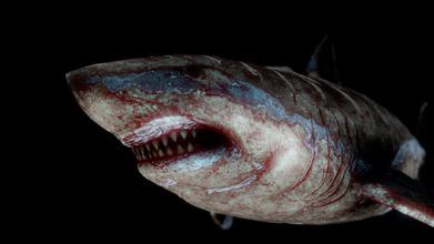 megalodon - download Kostenlose 3d-Modell julio c sar guglio ed09306 megalodon carcharocles megalodon Bedeutung &bdquo großer zahn&ldquo ausgestorbene Spezies Hai lebte etwa 23 36 Millionen Jahren, mya, die während der frühen Miozän, Pliozän 6 früher dachte Mitglied der Familie lamnidae in der Nähe relativ große weiße Hai, carcharodon carcharias  aber jetzt unterteilt in die ausgestorbene Familie otodontidae dem abwich, great white shark, die während der frühen Kreidezeit seine Gattung Platzierung noch diskutiert Autoren Platzierung carcharocles megaselachus otodus procarcharodon weil übergangs-Fossilien gefunden wurden, zeigen megalodon letzten chronospecies Linie riesige Haie, die ursprünglich der Gattung otodus, die sich während des Paläozän - megalodon - download Kostenlose 3d-Modell julio c sar guglio ed09306