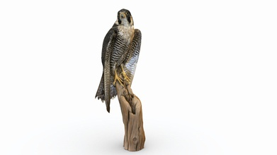 peregrine falcon - buy royalty free 3d model abby crawford abbyec f42f04d visit elkhorn slough national estuarine research reserve today kindly allowed take some photos peregrine falcon they had display check out their website learn more work they&rsquo re doing created using 115 iphone 7 photos - peregrine falcon - buy royalty free 3d model abby crawford abbyec f42f04d