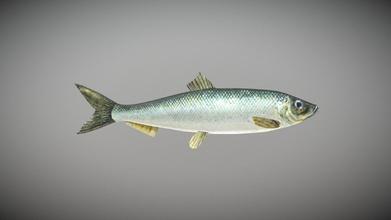 silakka - str mming - baltic herring - download free 3d model biology inthefield biology inthefield b9fa4ef silakka - str mming - baltic herring - download free 3d model biology inthefield biology inthefield b9fa4ef