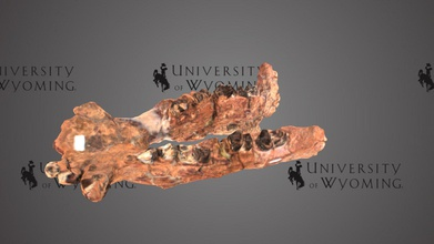 uw3355 - coryphodon eocaenus lower jaw - download free 3d model university wyoming libraries uwlibraries 531a488 period epoch cenozoic eocene rock formation wind river fm state county wy albany taxonomy mammalia&gt cimolesta&gt coryphodontidae&gt coryphodon eocaenus coryphodon part earliest group large herbivorous plant eating mammals animal stood 1 m 33 ft tall shoulders weighed around 500kg 1100 lb resembled small hippopotamus tusks lower jaw were likely used rooting up plants but could have also been used display males have larger tusks lower jaw animal scanned david sls-2 - uw3355 - coryphodon eocaenus lower jaw - download free 3d model university wyoming libraries uwlibraries 531a488