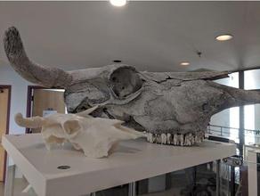 longhorn mucca cranio biologia animale cranio mucca scheletro cranio