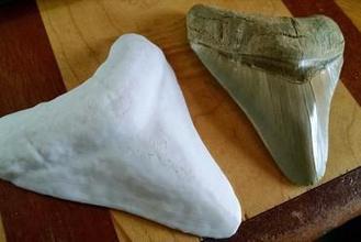 mächtigen megalodon zahn Bildung Hai megalodon zahn Ozean Wissenschaft fossil